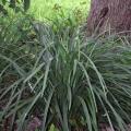 Giant Liriope