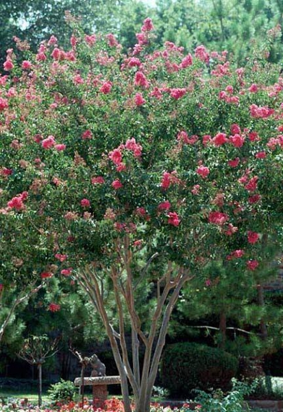 Ornamental Trees Precision Landscape Management