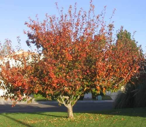 Landscaping Ornamental Trees : Ornamental trees precision landscape management landscaping