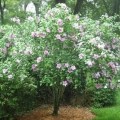 Althea (Rose of Sharon)