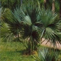 Dwarf Palmetto Palm