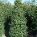 Foster\'s Holly