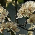 Mexican Plum