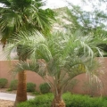 Pindo Palm (Jelly Palm)