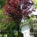 Purple-Leaf Plum