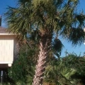 Texas Sable Palm