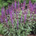 Blue Queen Salvia