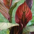 Tropicana Canna Lily