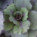 Cabbage - Osakara Red Flowering