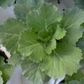 Cabbage - Osakara White Flowering