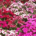 Dianthus- Ideal Magical Mix