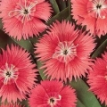 Dianthus- Ideal Salmon