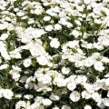 Dianthus- Ideal Select White