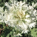 Kale - White Feathered