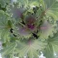 Kale- Nagoya Red Flowering