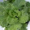 Kale- Nagoya White Flowering