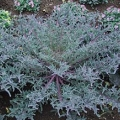 Kale- Peacock Red Flowering