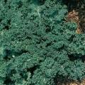 Kale- White Bor