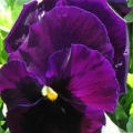 Pansy- Colossus Purple