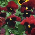 Pansy- Colossus Red
