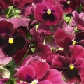 Pansy- Colossus Rose