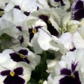 Pansy- Colossus White