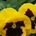 Pansy- Colossus Yellow