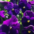 Pansy- Crown Purple