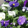 Pansy- Delta Cool Waters