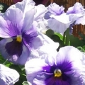 Pansy- Delta Light Blue