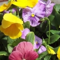 Pansy- Delta Monet Mix