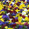 Pansy- Delta Pure Colors Mix