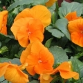 Pansy- Delta Pure Deep Orange