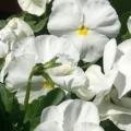 Pansy- Delta Pure Premium White