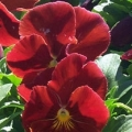Pansy- Delta Pure Red