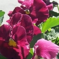 Pansy- Delta Pure Rose