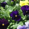 Pansy- Delta TriColor Mix