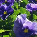 Pansy- Delta True Blue