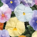 Pansy- Delta Water Colors Mix