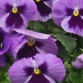 Pansy- Majestic Giants II Ocean