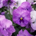 Pansy- Supreme Lavender Shades