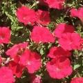 Petunia- Bright Red
