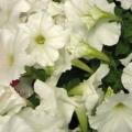 Petunia- White