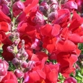 Snapdragon- Montego Red