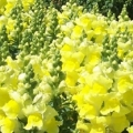 Snapdragon- Montego Yellow