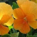 Viola- Pure Orange