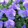 Viola- Rocky Blue for You