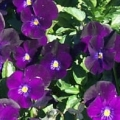 Viola- Rocky Bright Purple