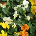 Viola- Rocky Citrus Mix