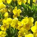 Viola- Rocky Golden Yellow